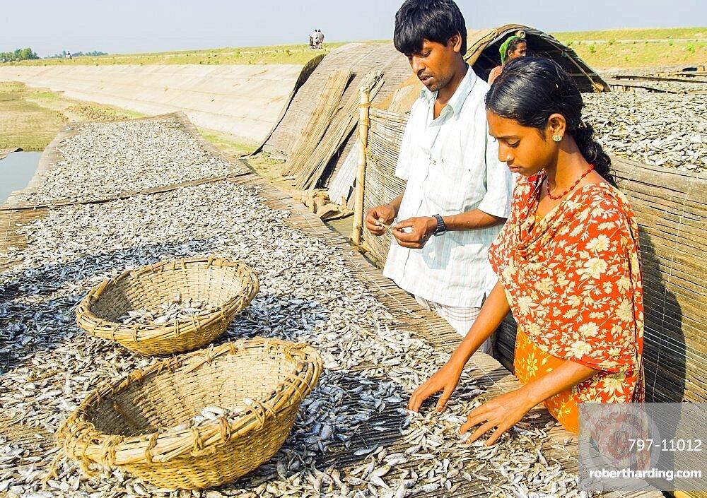 Bangladesh, Sirajganj, Sorting dried fish into baskets.