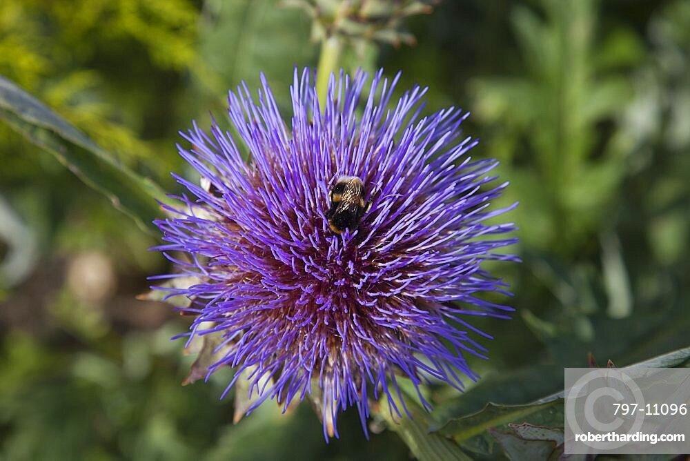 Plants, Flowers, Thistle, Bee on purple coloured Thistle.