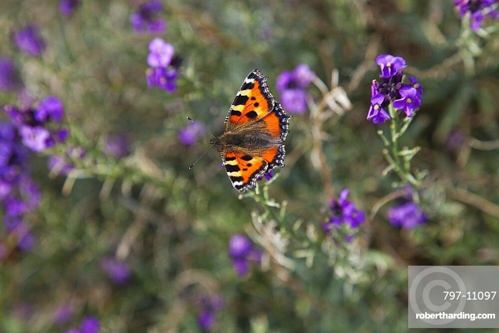 Plants, Flowers, Red Admiral butterfly on purple wild flower.