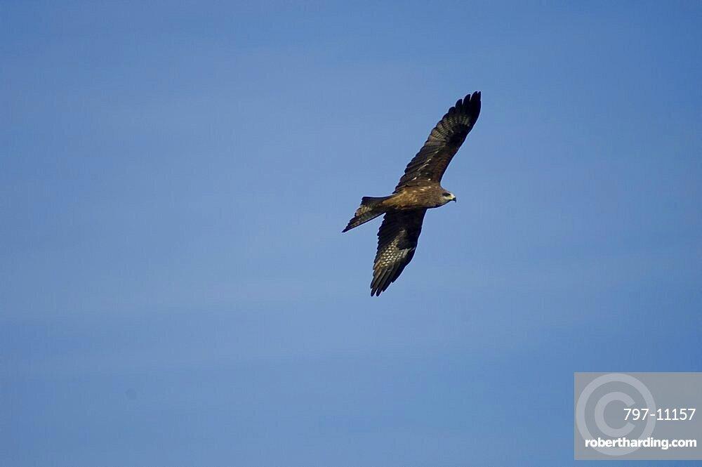 Nepal, Nagarkot, Himalayan Eagle soaring in sky above Kathmandu valle.