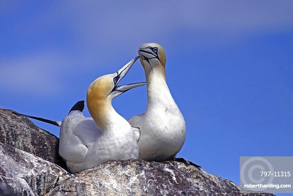 Animals, Birds, Gannets, Pair Of Gannets Morus bassanus bonding at nest site on cliff edge Bass Rock Firth of Forth Scotland UK.