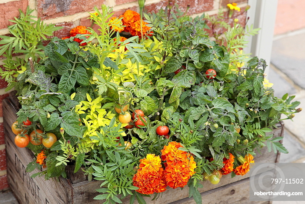 Plants, Flowers, Marigold, Lycopersicon, Tomato and Calendula, Marigold growing in wooden planter.