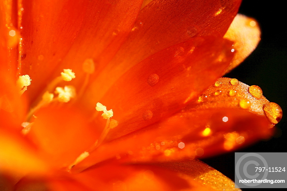 Plants, Flowers, Clivia, Close up of water droplets on orange petals.