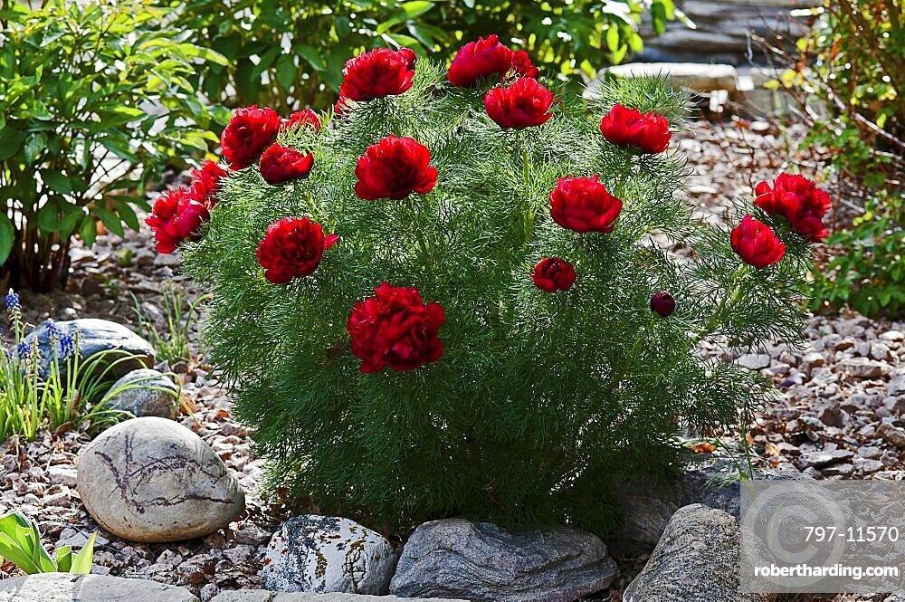 Canada, Alberta, Lethbridge, Red Fern Leaf Peony, Paeonia tenuifolia, growing in garden with rocks, gravel and bluebells.