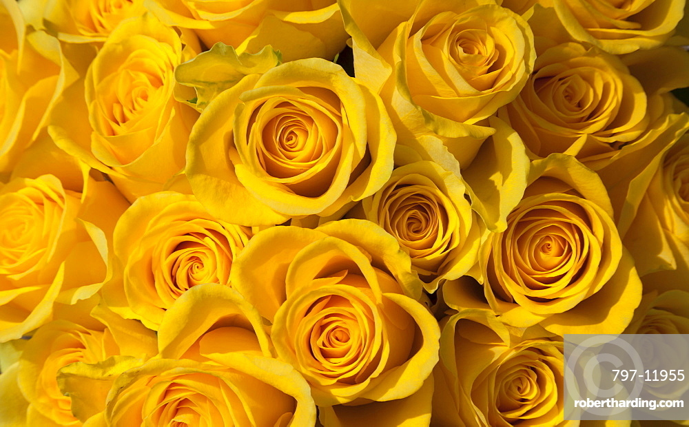Rose, Rosa, Close up of a bunch of yellow coloured flowers.