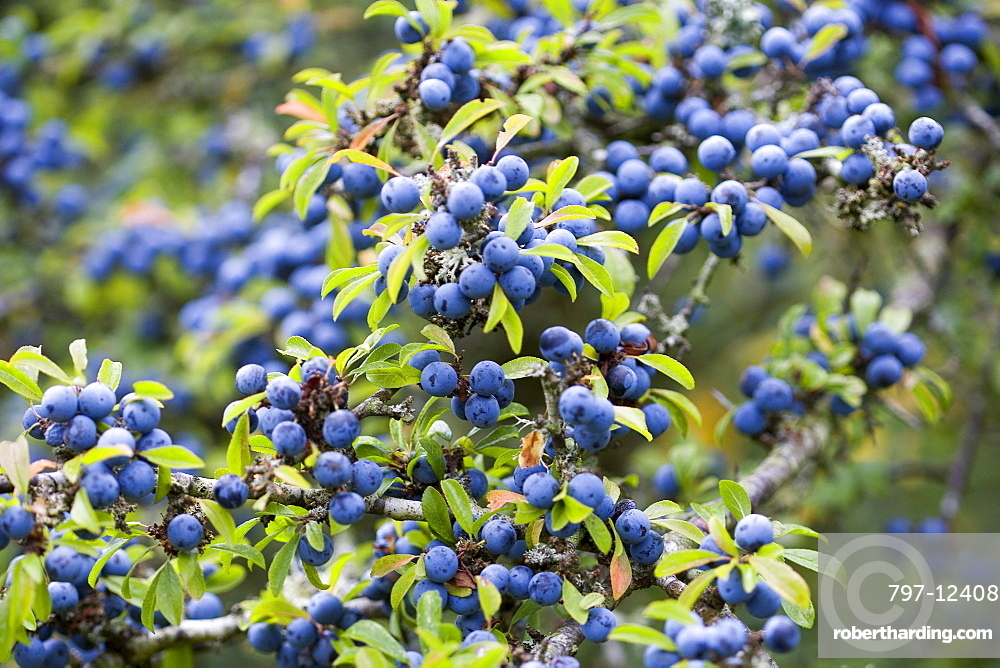 Blackthorn, Prunus spinosa, Abundant purple sloe berries growing on a shrub in the autumn in the New Forest.