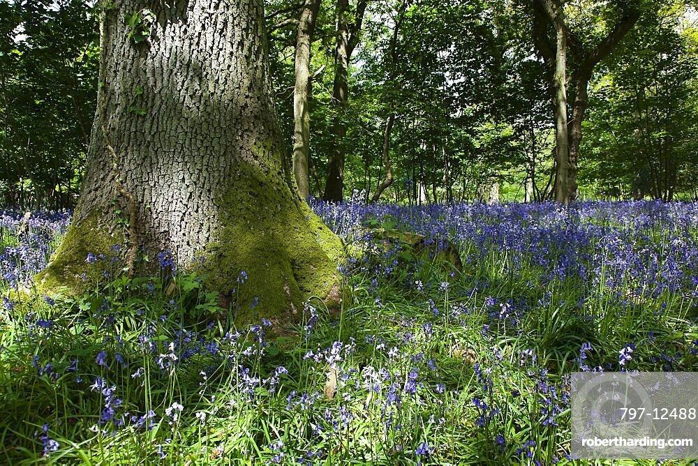 Bluebells, Hyacinthoides non-scripta, in woodland area near Crossbush, West Sussex, England.