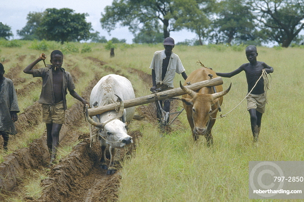 GAMBIA  Farming Ploughing with oxen after a drought.