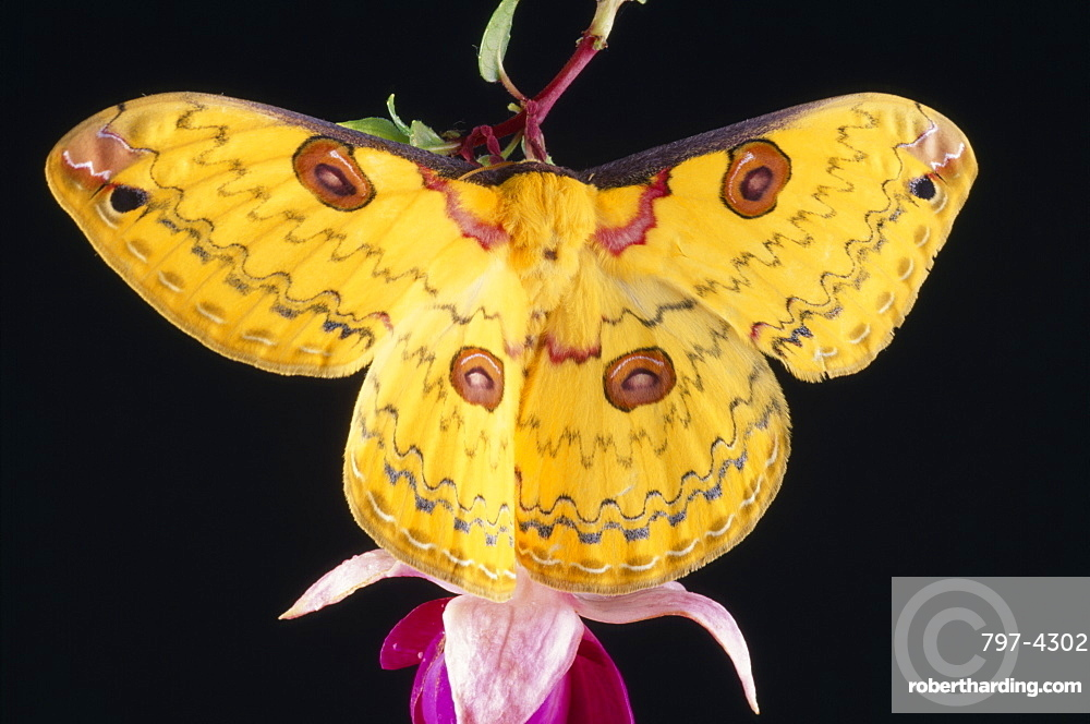 Golden Emperor Silk Moth Leopa katinka Single insect with outstretched wings on pink flower,