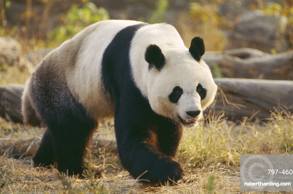 WILDLIFE Bears Panda Giant Panda walking on the ground at Beijing Zoo