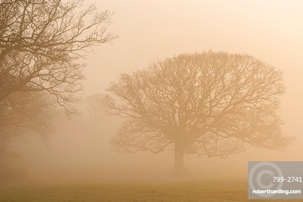 Trees in fog at sunrise in winter, Black Dog, Devon, England, United Kingdom, Europe