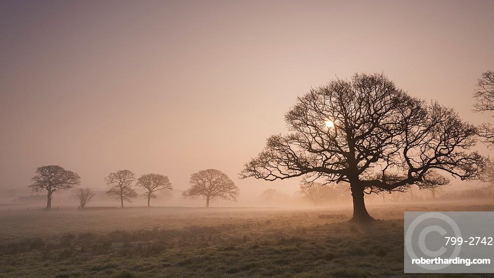 Trees in fog at sunrise in winter, Devon, England, United Kingdom, Europe