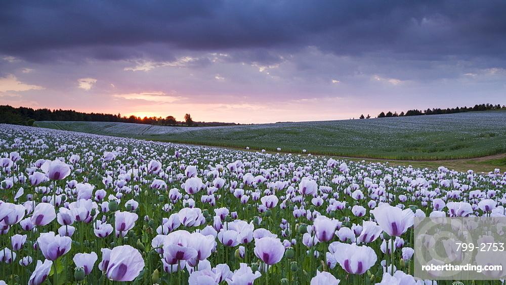Opium poppyfield at sunset, Chilton, Oxfordshire, England, United Kingdom, Europe