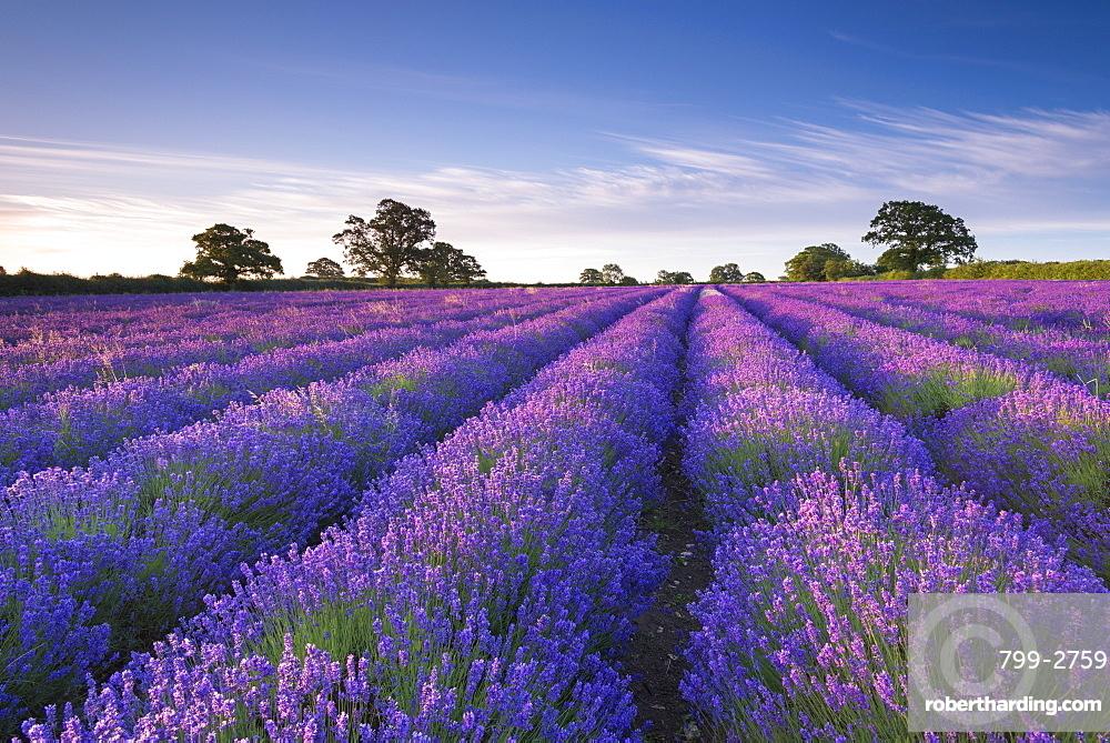 Lavender field at dawn, Somerset, England, United Kingdom, Europe