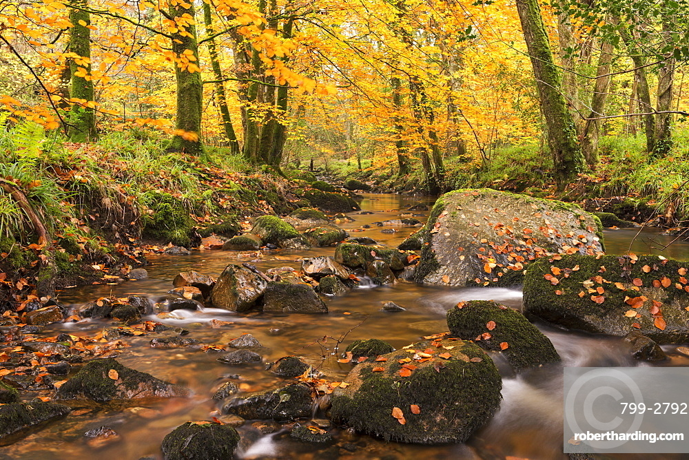 River Teign surrounded by autumnal trees, Dartmoor, Devon, England, United Kingdom, Europe