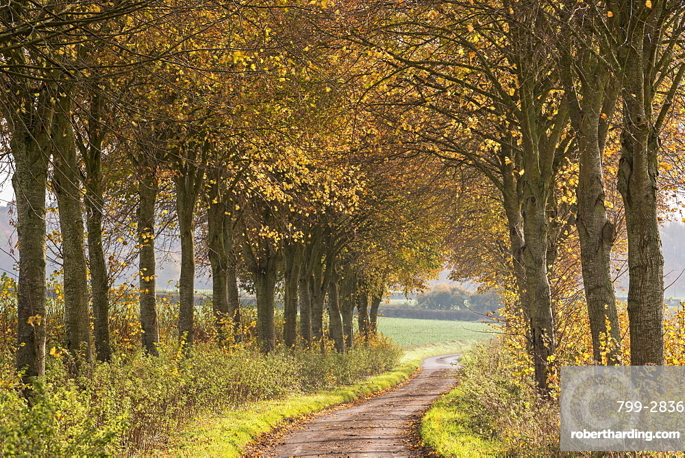 Country lane leading through an avenue of colourful autumnal trees, Dorset, England, United Kingdom, Europe
