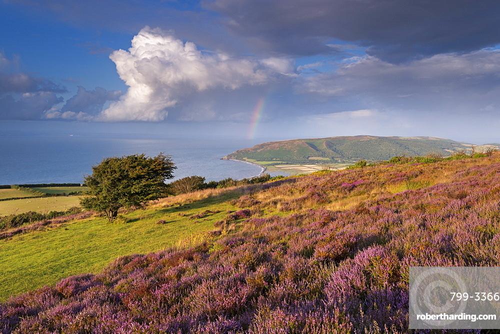 Heather covered moorland on Porlock Common, overlooking Porlock Bay, Exmoor, Somerset, England, United Kingdom, Europe