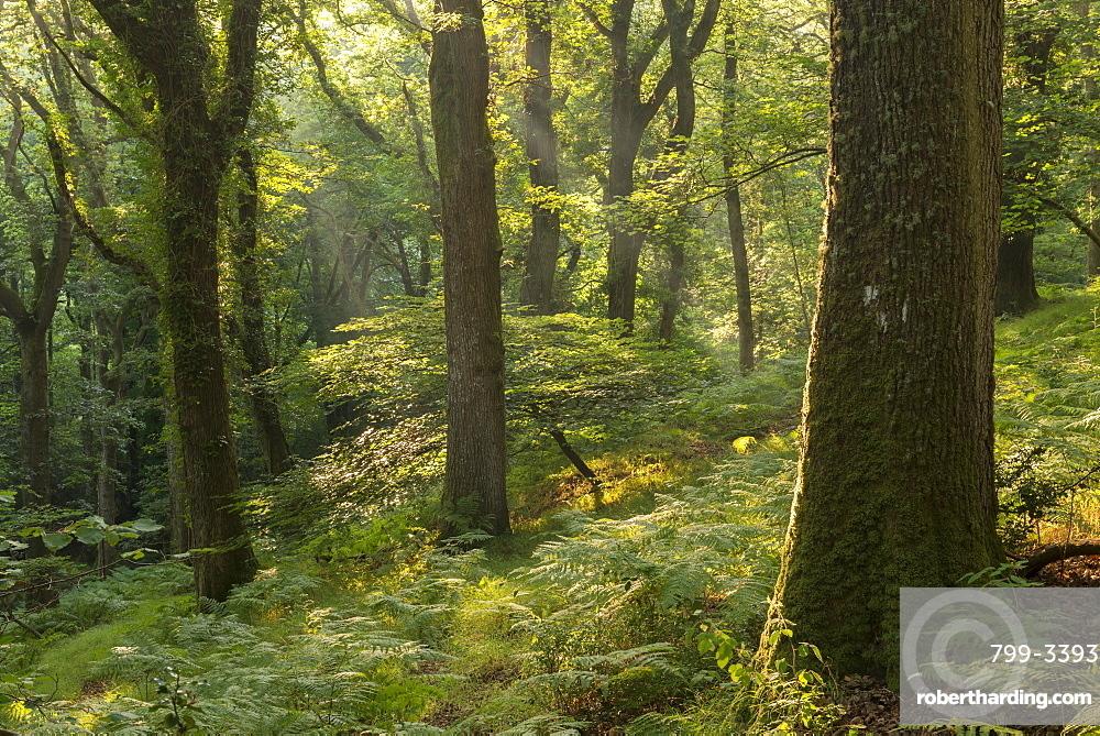 Sunny summer morning in a deciduous woodland, Fingle Woods, Dartmoor, Devon, England, United Kingdom, Europe