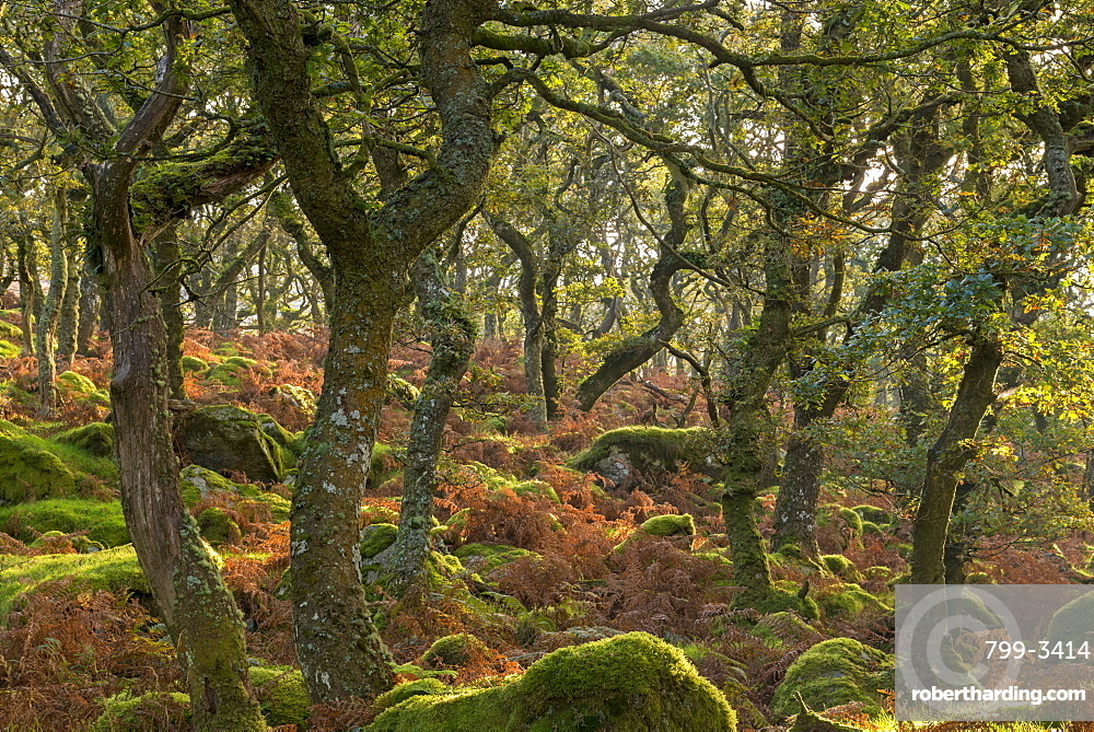 Morning sunshine lights up a moorland woodland of stunted oak trees, Black a Tor Copse, Dartmoor, Devon, England, United Kingdom, Europe