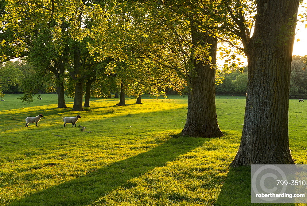 Lambs grazing in a sunlit field with trees in the Cotswolds, Gloucestershire, England, United Kingdom, Europe