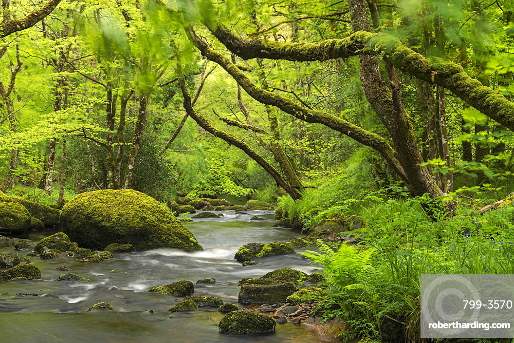 Spring foliage surrounding the River Teign near Fingle Bridge, Dartmoor National Park, Devon, England, United Kingdom, Europe