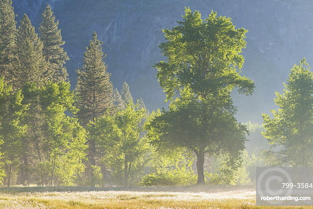 Trees in mist in Yosemite Valley at dawn, Yosemite National Park, UNESCO World Heritage Site, California, United States of America, North America