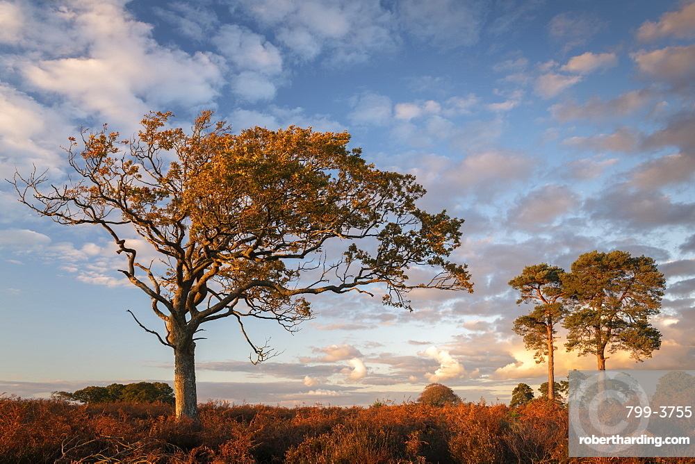 Trees on the heathland in late evening sunlight, New Forest, Hampshire, England, United Kingdom, Europe