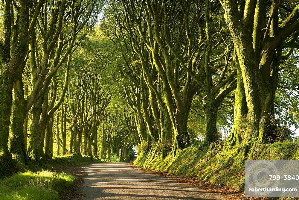 Country lane under avenue of trees, Bridestowe, Dartmoor, Devon, England, United Kingdom, Europe