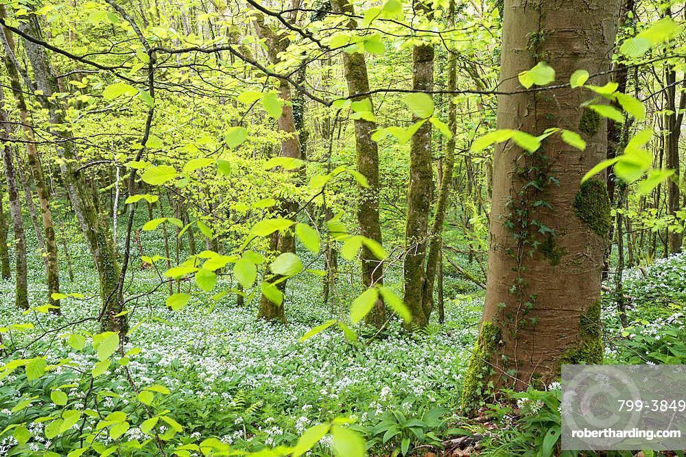 Wild Garlic flowering in a deciduous woodland in spring, Looe, Cornwall, England, United Kingdom, Europe