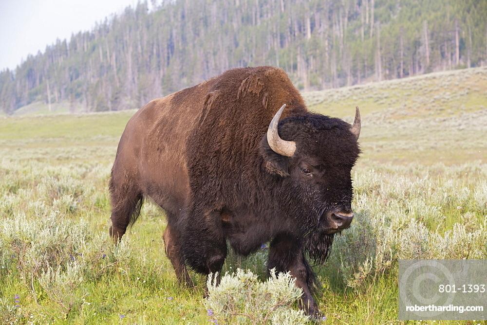 Bison (Bison bison), Hayden Valley, Yellowstone National Park, UNESCO World Heritage Site, Wyoming, United States of America, North America