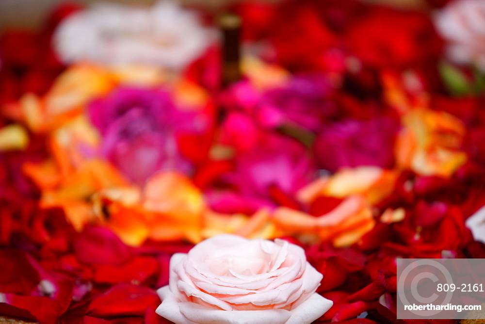 Roses, Essaouira, Morocco, North Africa, Africa