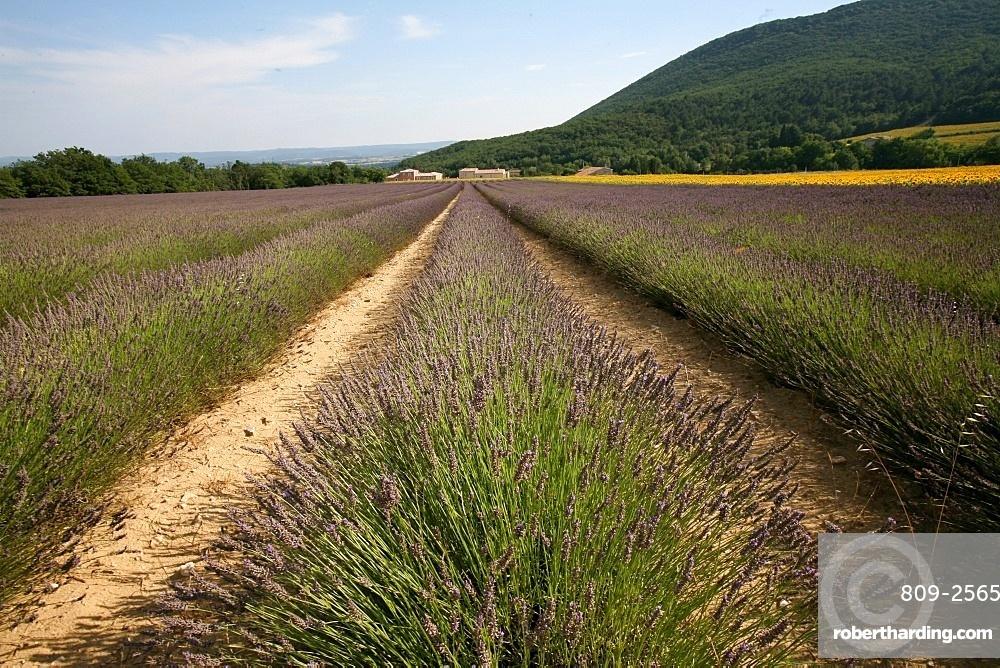 Lavender field, Drome, France, Europe