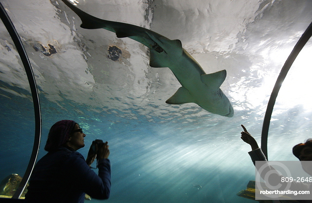 Acrylic glass tunnel where sharks swim above visitors, Sydney Aquarium, Sydney, New South Wales, Australia, Pacific