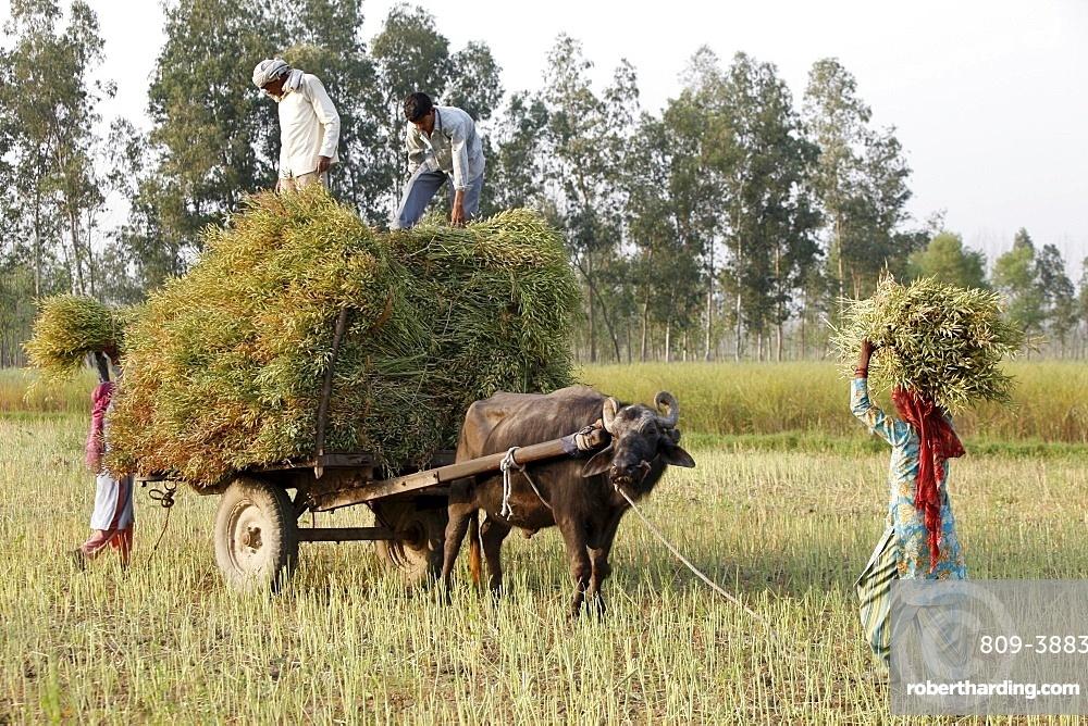 Mustard plant harvest, Haridwar, Uttarakhand, India, Asia