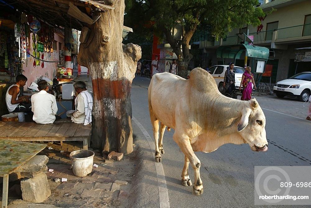 Road and sidewalk with cow in Vrindavan, Uttar Pradesh, India, Asia