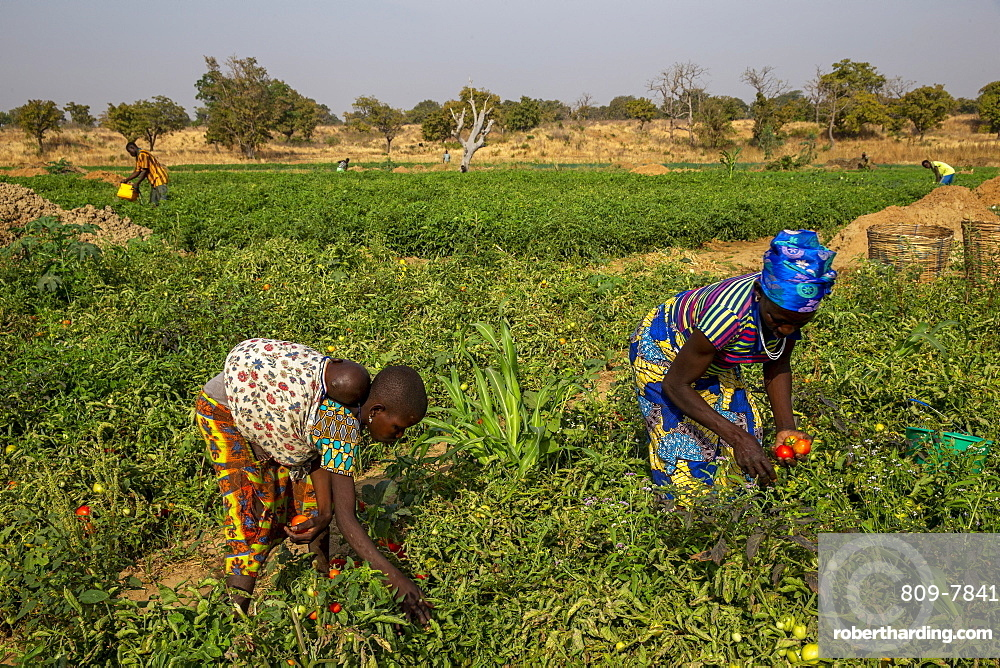 Girl and woman picking tomatoes in Namong, Togo, West Africa, Africa