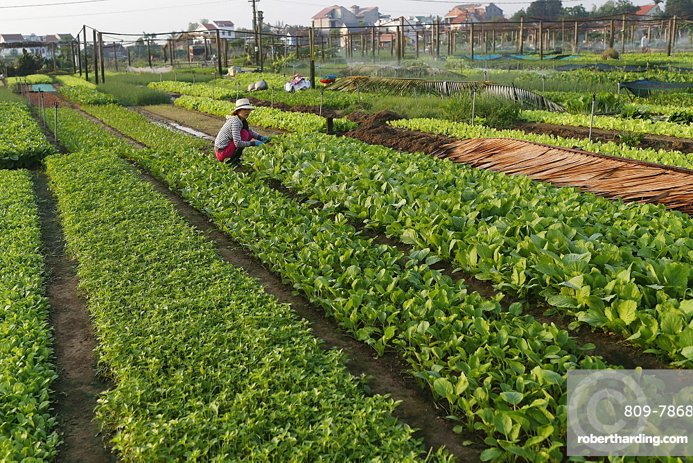 Organic vegetable gardens in Tra Que Village, Hoi An, Vietnam, Indochina, Southeast Asia, Asia