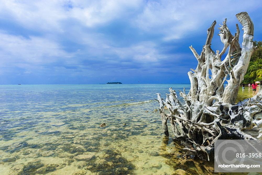 Dead tree at Micro beach in Garapan, Saipan, Northern Marianas, Central Pacific, Pacific