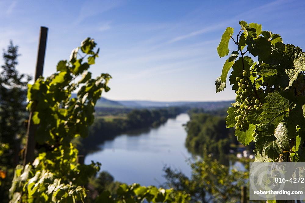 Vines above the Main valley, Franconia, Bavaria, Germany, Europe