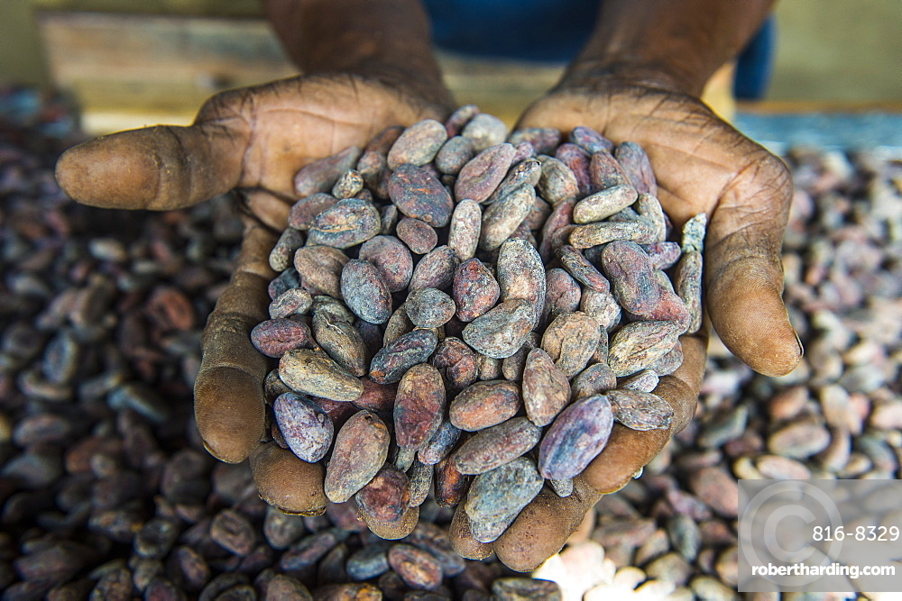 Woman holding cocoa beans in ther hands, Cocoa plantation Roca Aguaize, East coast of Sao Tome, Sao Tome and Principe, Atlantic Ocean, Africa
