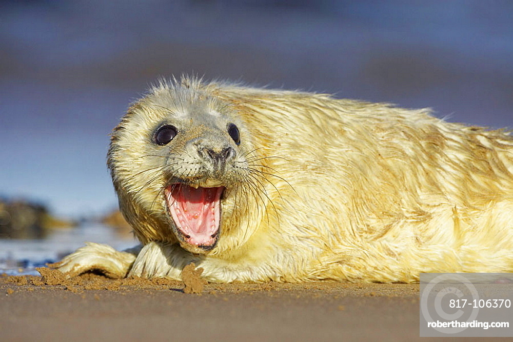 Grey Seal (Grypus halichoerus) young pup on sand bar calling for mother, North Lincolnshire, UK, November 2005.