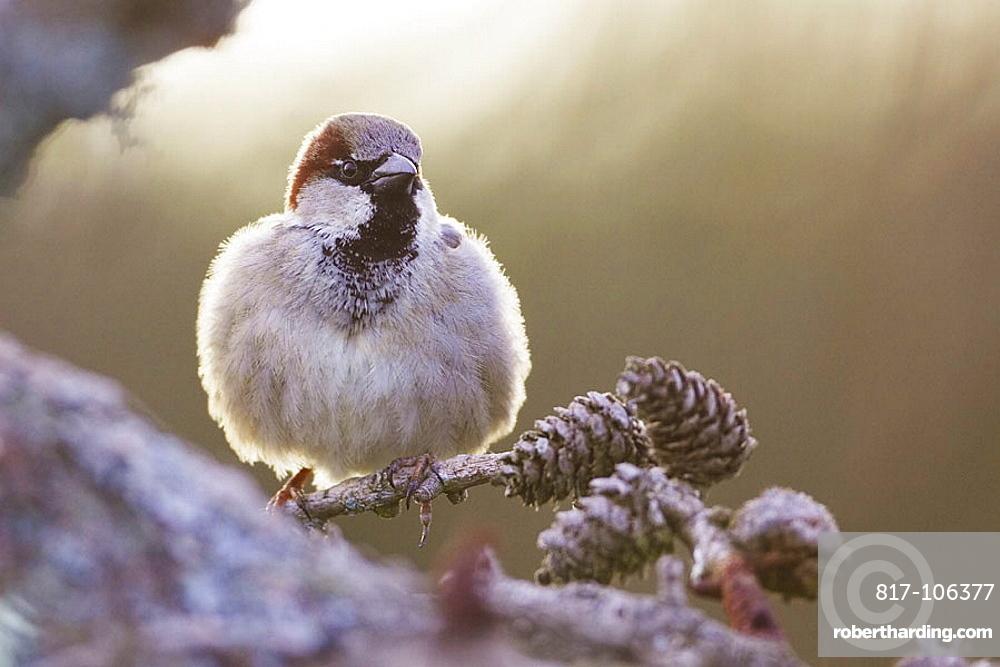 House Sparrow (Passer domesticus) adult male perched, Scotland, April 2006.