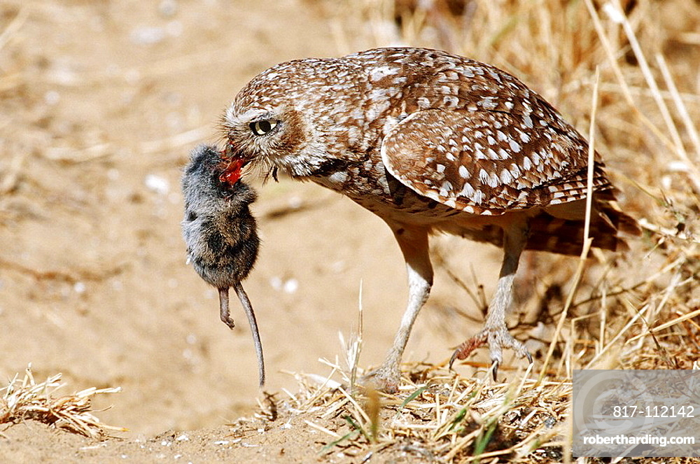 Burrowing Owl (Speotyto cunicularia) with mouse