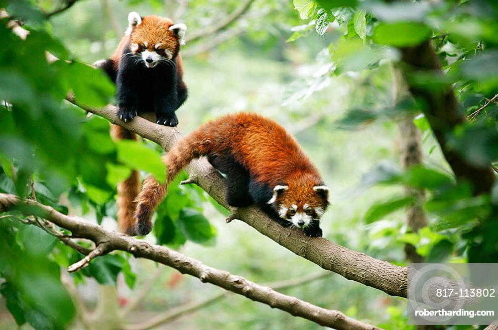 Red Panda (Ailurus fulgens) at the Giant Panda Breeding Center of Chengdu, Sichuan, China