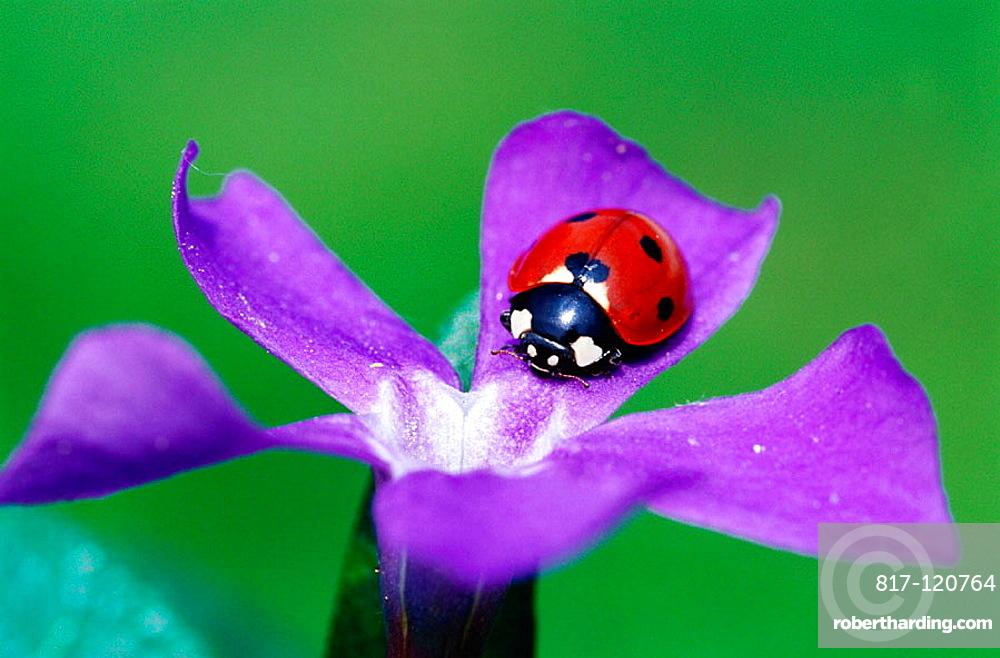 Seven spot ladybird (Coccinella septempunctata), Bavaria, Germany