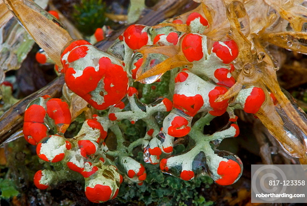 British soldier lichen (Cladonia cristatella) fruiting bodies with a coating of freezing rain ice