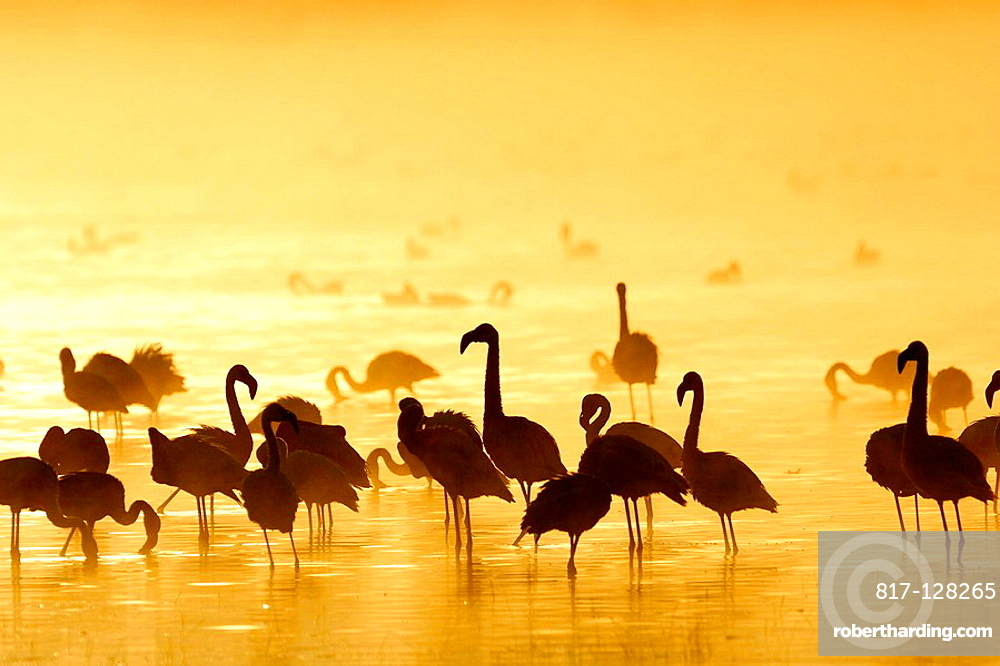 Lesser Flamingos (Phoenicopterus minor) at sunrise, Lake Nakuru, Kenya