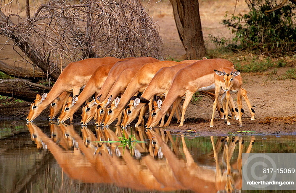 Impalas (Aepyceros melampus), Kruger National Park, South Africa