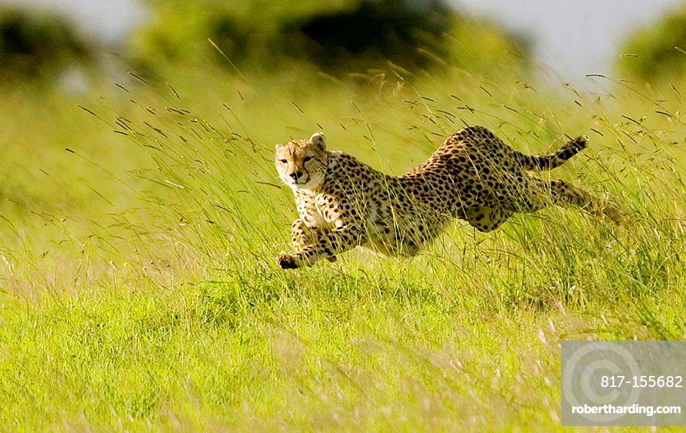 Cheetah chases Thomson Gazelle in the Masai Mara
