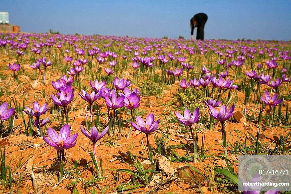 Saffron crocus, Toledo province, Castilla-La Mancha, Spain